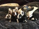 Собаки, щенята Американський стаффордширський тер'єр, ціна 3500 Грн., Фото