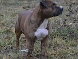 Собаки, щенки Стаффордширский бультерьер, цена 1200 Грн., Фото