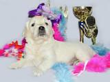 Собаки, щенки Лабрадор ретривер, цена 12000 Грн., Фото