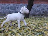 Собаки, щенята Бультер'єр, ціна 13500 Грн., Фото