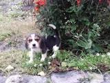 Собаки, щенята Естонський гончак, ціна 4500 Грн., Фото