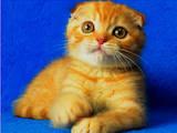 Кошки, котята Шотландская вислоухая, цена 6500 Грн., Фото
