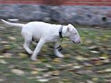 Собаки, щенята Бультер'єр, ціна 9000 Грн., Фото