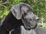 Собаки, щенки Немецкий дог, цена 20000 Грн., Фото