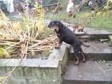 Собаки, щенята Різне, ціна 3300 Грн., Фото