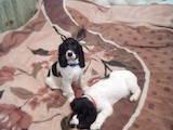 Собаки, щенята Російський спаніель, ціна 5000 Грн., Фото