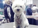Собаки, щенята Вестхайленд уайт тер'єр, ціна 13000 Грн., Фото