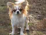 Собаки, щенята Чихуа-хуа, ціна 8000 Грн., Фото