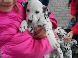 Собаки, щенята Далматин, ціна 2700 Грн., Фото