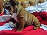 Собаки, щенята Англійський бульдог, ціна 10000 Грн., Фото