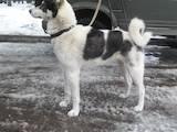Собаки, щенки Западно-Сибирская лайка, цена 14500 Грн., Фото