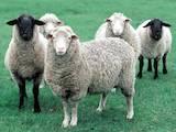 Тваринництво,  Сільгосп тварини Барани, вівці, Фото