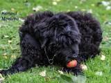 Собаки, щенята Чорний тер'єр, ціна 11000 Грн., Фото