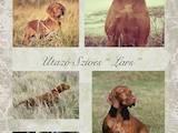 Собаки, щенята Угорська вижла, ціна 20000 Грн., Фото