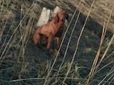 Собаки, щенята Угорська вижла, ціна 4500 Грн., Фото