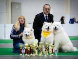 Собаки, щенята Самоїдом, ціна 30000 Грн., Фото