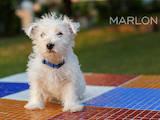 Собаки, щенята Вестхайленд уайт тер'єр, ціна 12000 Грн., Фото