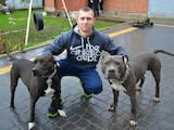 Собаки, щенята Стаффордширський бультер'єр, ціна 6499 Грн., Фото