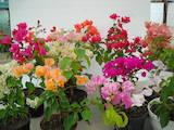 Домашні рослини Декоративні рослини, ціна 140 Грн., Фото