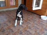 Собаки, щенята Англійський пойнтер, ціна 7000 Грн., Фото