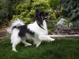 Собаки, щенята Папільон, ціна 12000 Грн., Фото