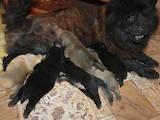 Собаки, щенята Чау-чау, ціна 6000 Грн., Фото