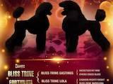 Собаки, щенята Великий пудель, ціна 31000 Грн., Фото