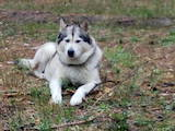 Собаки, щенята Аляска маламут, ціна 10000 Грн., Фото