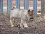 Собаки, щенята Східно-сибірська лайка, ціна 1200 Грн., Фото