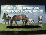 Тваринництво,  Сільгосп тварини Крупно-рогата худоба, Фото