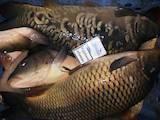 Продовольство Риба і рибопродукти, ціна 28 Грн./кг., Фото