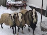 Тваринництво,  Сільгосп тварини Барани, вівці, ціна 2100 Грн., Фото