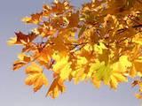 Домашні рослини Вуличні рослини, ціна 50 Грн., Фото
