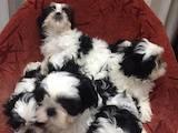 Собаки, щенята Ши-тцу, ціна 3800 Грн., Фото