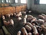 Тваринництво,  Сільгосп тварини Свині, ціна 80 Грн., Фото