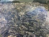 Рибне господарство Риба жива, мальки, ціна 50 Грн., Фото