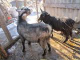 Тваринництво,  Сільгосп тварини Кози, ціна 700 Грн., Фото