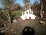 Птахівництво Гуси, ціна 1000 Грн., Фото