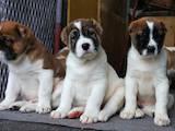 Собаки, щенята Середньоазіатська вівчарка, ціна 5000 Грн., Фото