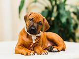 Собаки, щенки Родезийский риджбек, цена 6000 Грн., Фото