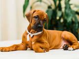Собаки, щенята Родезійського ріджбек, ціна 6000 Грн., Фото