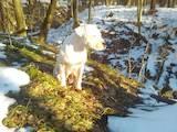 Собаки, щенята Американський бульдог, ціна 10500 Грн., Фото