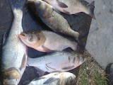 Рибне господарство Риба жива, мальки, ціна 22 Грн., Фото