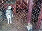 Собаки, щенята Західно-Сибірська лайка, ціна 600 Грн., Фото