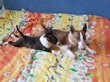 Собаки, щенята Мініатюрний бультер'єр, ціна 650 Грн., Фото