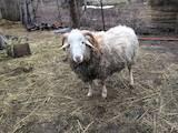 Тваринництво,  Сільгосп тварини Барани, вівці, ціна 1 Грн., Фото