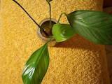 Домашні рослини Декоративні рослини, ціна 40 Грн., Фото