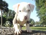Собаки, щенята Американський бульдог, ціна 750 Грн., Фото