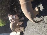 Собаки, щенки Американский бульдог, цена 750 Грн., Фото