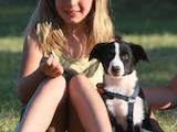 Собаки, щенята Бордерколлі, ціна 4500 Грн., Фото
